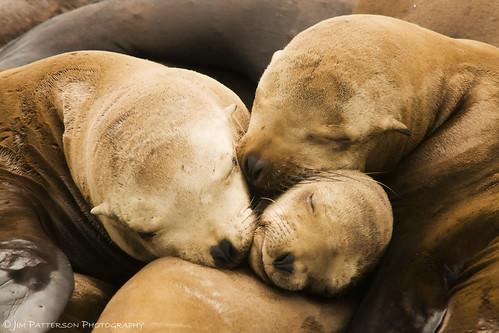 California Sea Lion Trifecta - Moss Landing, California