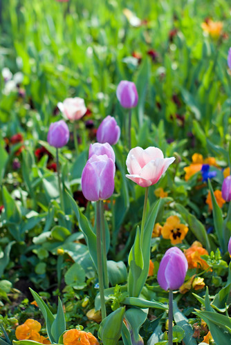 lilac tulips, istanbul tulip festival 2009, istanbul,  pentax k10d
