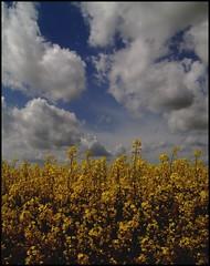 In the beginning (Kirsten M Lentoft) Tags: sky plants field yellow clouds denmark bravo ganløse kirstenmlentoft
