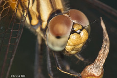 Dragonfly close up ..