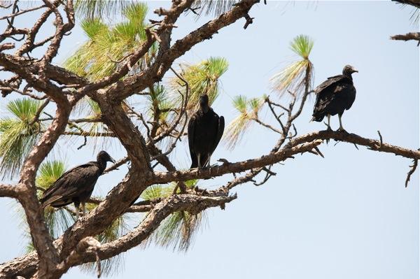 vulturess_0002