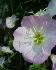 【アドエスphoto】花びらに雄しべの1F