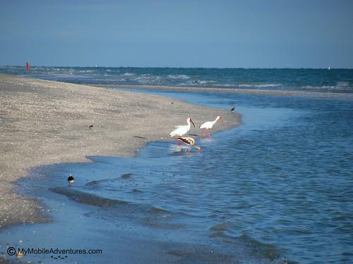 IMG_0563-whilte-ibis-family-wading