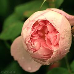 Chelsea Flower Show [8] (_nejire_) Tags: pink england plant flower london nature rose flora waterdrop chelsea rosa drop 11am chelseaflowershow 10faves tamronspaf90mmf28dimacro11 nejire canoneos400d fave10 platinumphoto mhashi