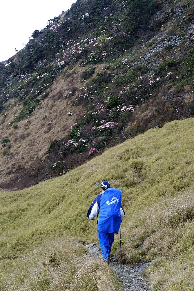 奇萊Day1-33 岩壁上杜鵑盛開
