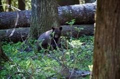 DSC_7642 (jeremybebeau) Tags: bear hiking may backpacking washingtonstate 2009 blackbear northcascadesnationalpark memorialdayweekend thundercreek d40 rosslakenationalrecreationarea thundercreektrail 2nightbackpack