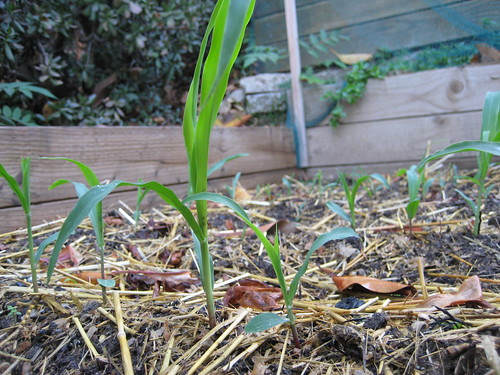 corn sprouts