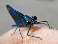 Hello babe :) (natalija2006) Tags: nature bug insect slovenia damselfly narava totalphoto žuželka buzznbugz macromarvels macrolife kačjipastir