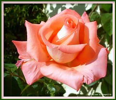 Tea rose (softlight0628) Tags: flower rose wow sence