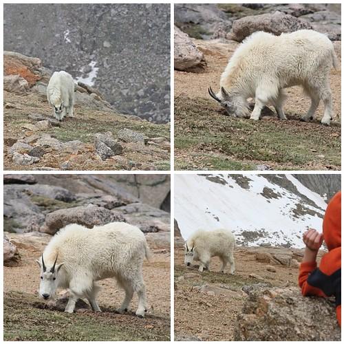 MtE - Mountain goat