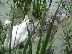 Swans and Cygnets (AndyRobertsPhotos) Tags: park swans wanstead cygnets