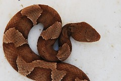 Copperhead (++Aletha++) Tags: nature snake wildlife viper poisonous copperhead texaswildlife yourcountry