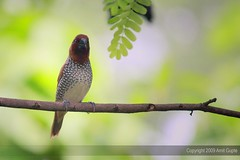 [Explored] Yet another ...Munia (amitsgupte) Tags: canon spottedmunia explored indianbirds 40d canoneos40d canonefs55250is