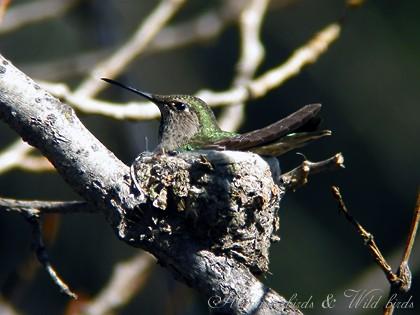 Anna's Hummingbird nest091-9