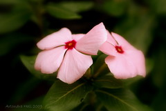 Vinca rosea (Artondra Hall) Tags: flowers photography artist maryland baltimore focallength70mm sonydslra100 isospeed100 aperturef63 pse60 projectart69 artondra exposure0008sec1125 artondrahall artondrahallphotography wwwartondrahallphotographycom httpwwwredbubblecompeopleprojectart69