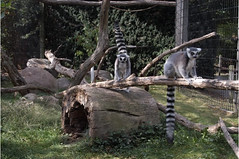 """Ring Tailed Lemur-L1 • <a style=""""font-size:0.8em;"""" href=""""http://www.flickr.com/photos/49635346@N02/4557266029/"""" target=""""_blank"""">View on Flickr</a>"""