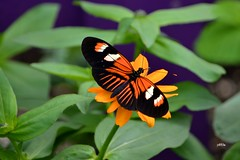 Doris Longwing Butterfly 050511a (jt893x) Tags: insect dorislongwing 55300mm d7000