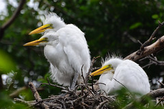 A Trio on the Nest (Jeff Clow) Tags: bird nature nest dfw nesting fledglings greategrets dallastexas utswmcrookery