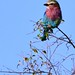 Lilac Throated Roller