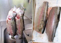 Forellen vorher und nachher / Trouts before and afterwards (Yogi 58) Tags: fishing trout filet forelle angeln troutfishing yogi58 forellenangeln vorhernachher jrgsteiof greatfish fishingindenmark angelnindnemark