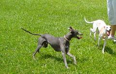 Eu e Zara de novo correndo..  coisa boa! (Z Magrelo Dogwear | Loucos por Galgos) Tags: z nver