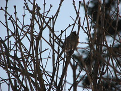 Bird in the Front Tree (s.kosoris) Tags: bird birds yard canon s3is canonpowershots3is skosoris