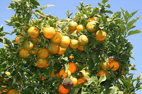 Chinottoplant