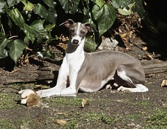 Italian Greyhound by Just chaos, on Flickr