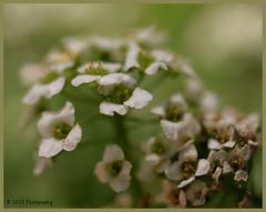 Long Way Home (redrocker_9) Tags: white flower macro green bokeh alyssum supertramp