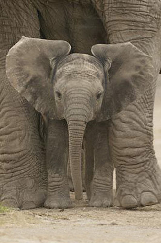 baby_elephant_poster