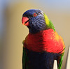 Rainbow Lorikeet (dicktay2000) Tags: bird rainbow dof sydney lorikeet australia stives canonef100400mmf4556lisusm naturesgallery abigfave img2845 pfogold thechallengefactory