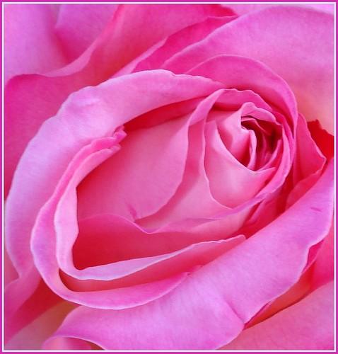 A Rose for Irene (1914 ~ 2009)
