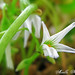 Shamrock Flower | Saint Patrick's Day