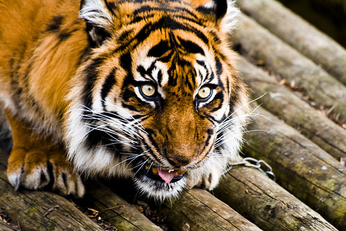 Dudley Zoo Sarah the Sumatran Tiger (Life Of Pi) on Flickr