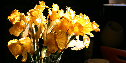 Daffodil light