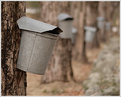 Tapped (Dave Delay) Tags: newhampshire nh mapletree maplesyrup brooklinenh sapbucket