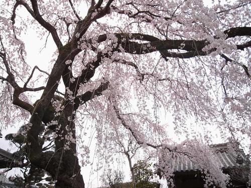 2009年-桜@専称寺(香芝市)-04