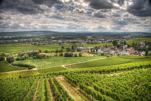 Wiesbaden 08 - Vineyard in Rheingau