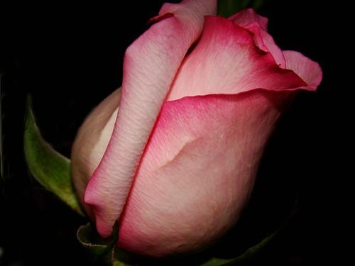 3-21-09 rose