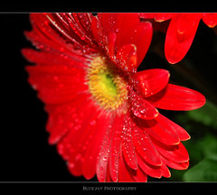 Gerbera again (❁bluejay 2006❁) Tags: red flower green nature fleur yellow rouge gerbera friday nikond40 bluejay2006