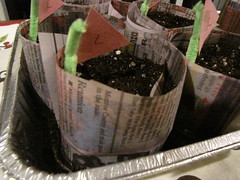 paper pots (trillian1117) Tags: vegetables paper experimental label flag seeds pots soil dirt lettuce april pan starting pipecleaner