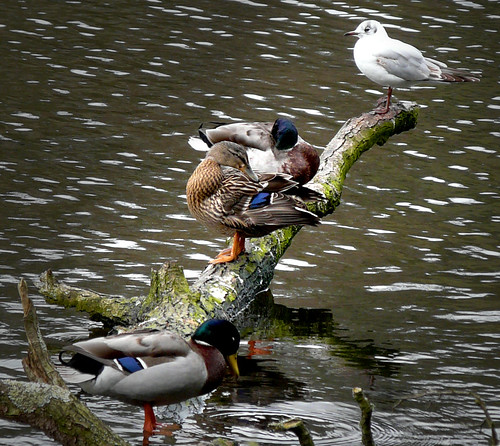 Ducks on branch 06Apr09