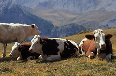ANI_VACH.018 (photonogrady) Tags: summer mountain cheese montagne cow milk cattle breeding betail lait herd fromage vache ete troupeau elevage