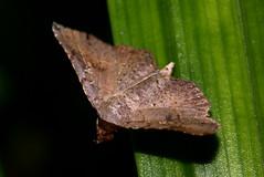 Moth (cjlai76) Tags: macro insect asian sony moth 100mm malaysia alpha vivitar teleconverter 2x f35 a300 kenko dcr250 raynox macroextreme