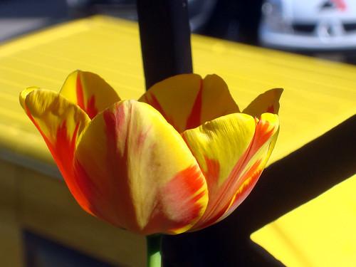 rot-gelb gemusterte Tulpe