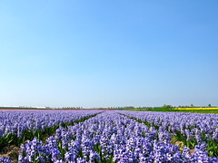 Blue (HannyB) Tags: flowers blue interestingness hyacinthus hyacint bulbfields voorhout