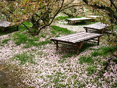 Snow Falling on Cedar Benches (Sanctu) Tags: park wood pink flower tree green heritage nature coffee japan garden bench season temple wooden spring cafe scenery kyoto picnic tea blossom buddhist seat lounge unesco bloom  cherryblossom greenery sakura teatime ninnaji shingon world site kyotoshi  omuroha