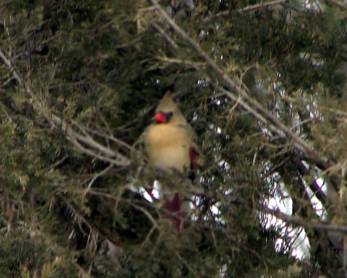 female cardinal cedar
