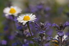 Composizione della natura (puma63) Tags: flowers fab primavera nature spring natura fiori blueribbonwinner diamondclassphotographer puma63 onlythebestare