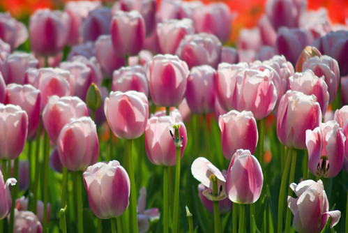 pink tulips, istanbul tulip festival 2009, istanbul lale festivali 2009, pentax k10d